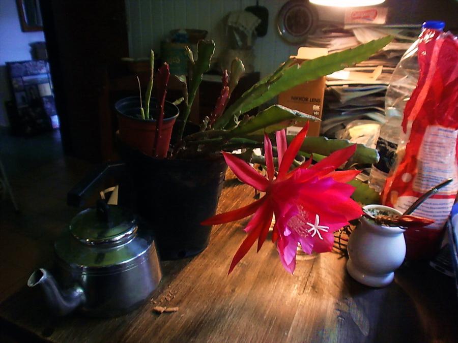 Desnuda, ella también, en su belleza. Cactus Pluma de Santa teresa, Pegasus. Por AMILCAR MORETTI, 12  noviembre 2013. Argentina.